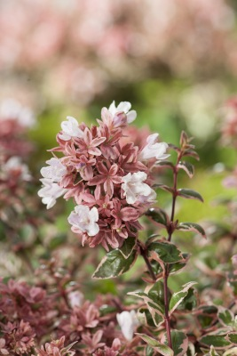 Abelia Magic Daydream flower close-up