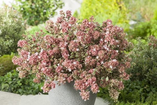 Abelia Magic Daydream in pot