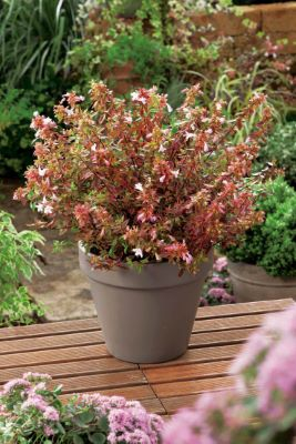Abelia Sunshine Daydream on patio