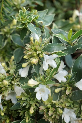 Abelia Lucky Lots flower image