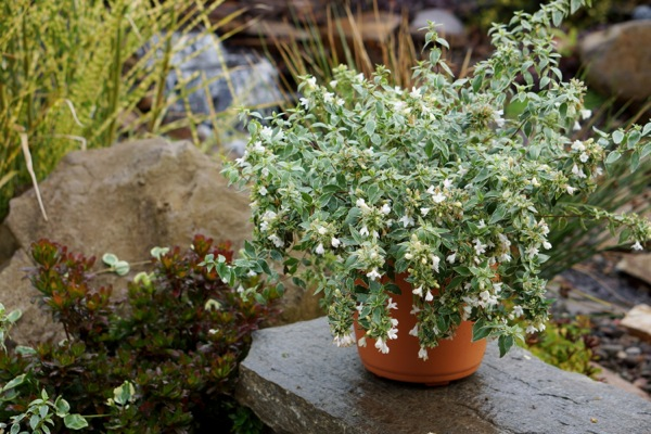 Abelia Lucky Lots in pot