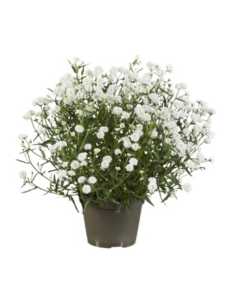 Achillea Diadem in pot