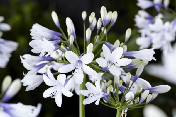 Agapanthus Twister flower image