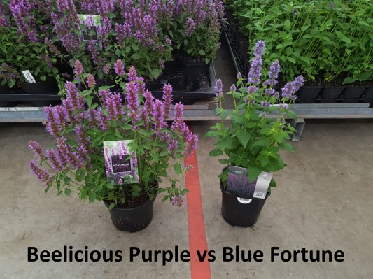 General image of Agastache Beelicious Purple