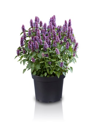 Agastache Beelicious Purple in pot