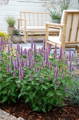 Agastache Beelicious Purple in garden