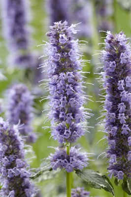 Agastache Crazy Fortune flower close-up