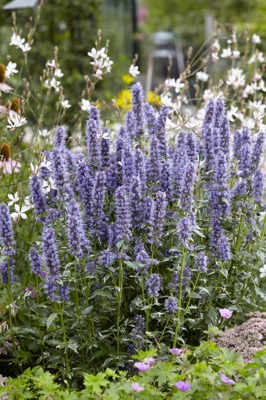 Agastache Crazy Fortune in garden