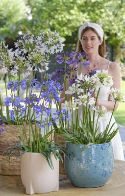 Agapanthus Ever Sapphire on patio