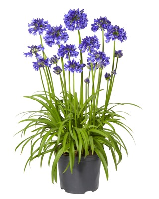 Agapanthus Blue Thunder in pot