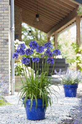 Agapanthus Blue Thunder on patio