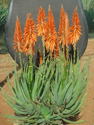Aloe Safari Orange flower image
