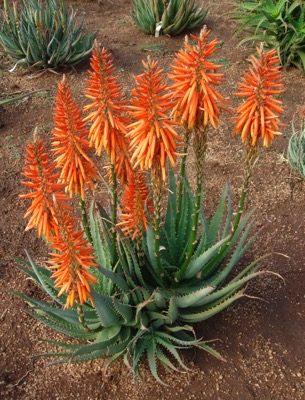 Aloe Safari Orange in garden