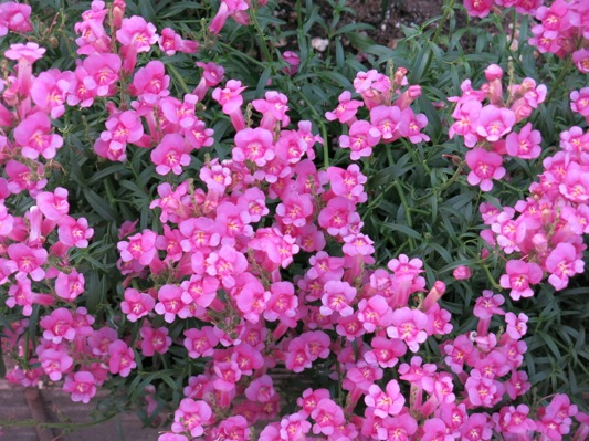 Antirrhinum Pretty in Pink flower image