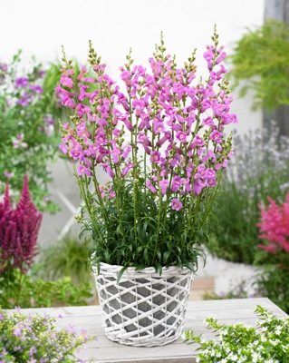 Antirrhinum Pretty in Pink on patio