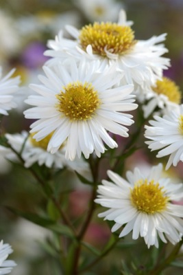 Aster Starshine flower close-up