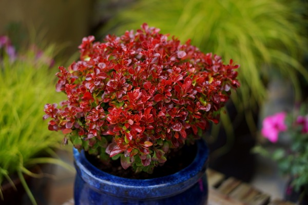 Berberis Lutin Rouge on patio