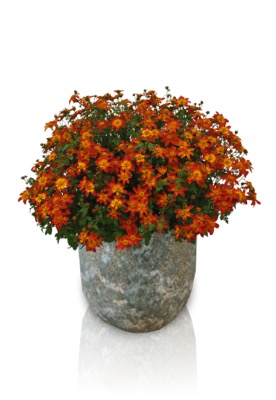 Bidens Beezar™ Fire Wheel in pot