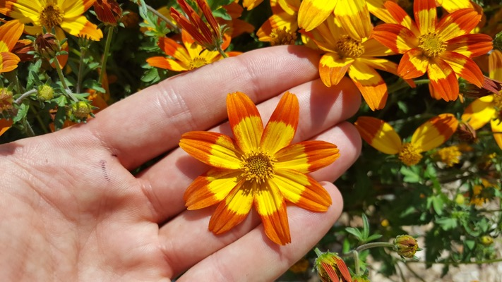 Bidens Beezar™ Funny Honey flower close-up