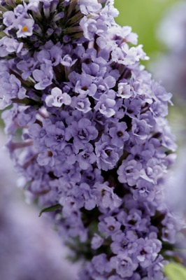 Buddleja High Five Purple flower close-up