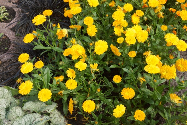 Calendula Winter Wonders™ Golden Glaze in garden
