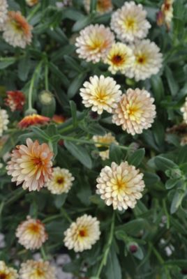 Calendula Winter Creepers™ Blond&Brisk flower close-up