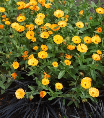 Calendula Winter Wonders™ Amber Arctic in garden