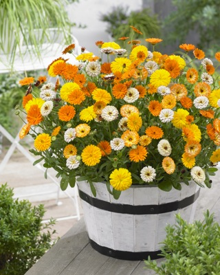 Calendula Winter Wonders™ Amber Arctic on patio