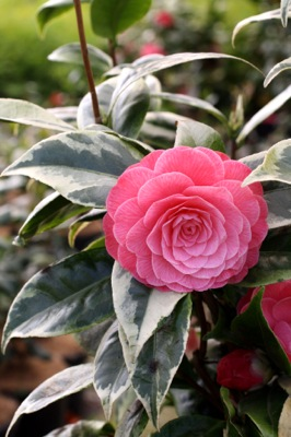 Camellia Splendor flower close-up
