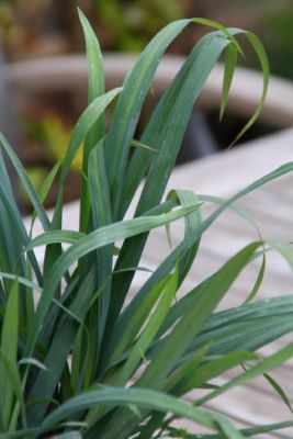 Carex Bunny Blue™ foliage close-up
