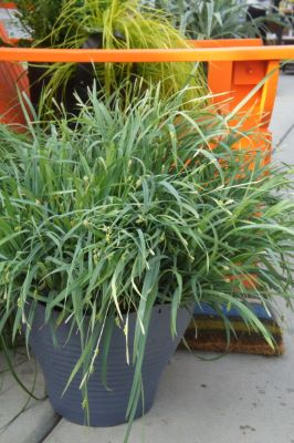 Carex Bunny Blue™ in pot