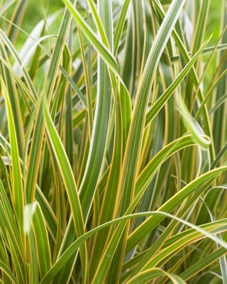 Carex EverColor® 'Everglow' foliage close-up