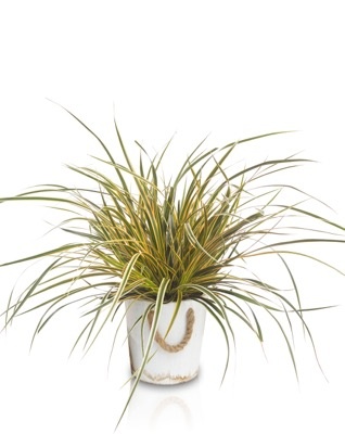 Carex EverColor® 'Everglow' in pot
