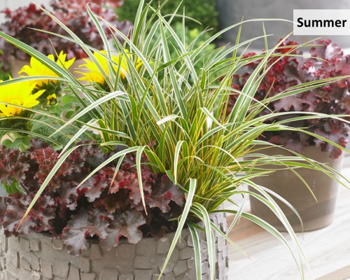 Carex EverColor® 'Everglow' on patio
