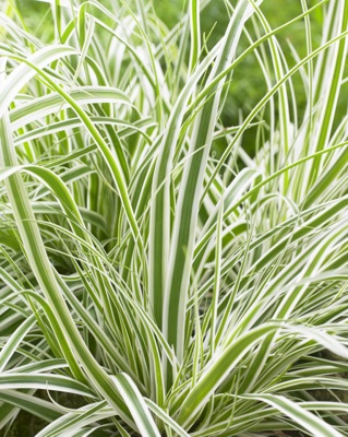 Carex EverColor® Everest foliage close-up