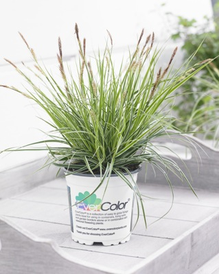 Carex EverColor® Everest in pot