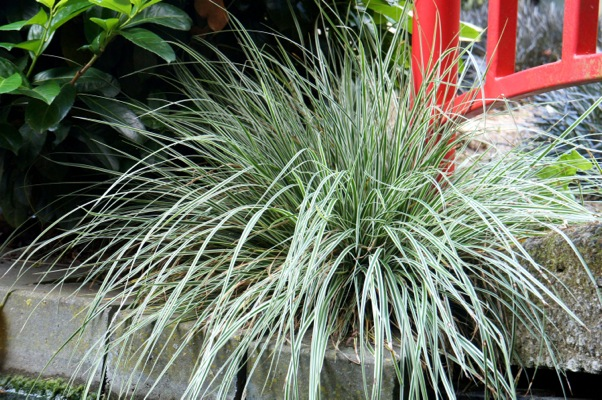 Carex EverColor® Everest in garden