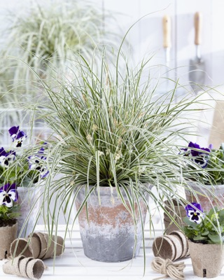 Carex EverColor® Everest on patio