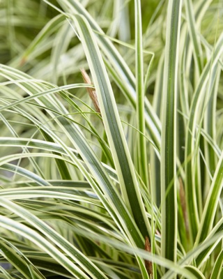Carex EverColor® 'Evercream' foliage close-up
