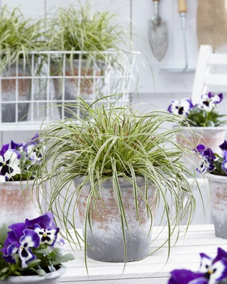 Carex EverColor® 'Evercream' on patio
