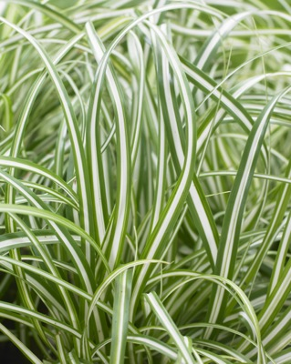 Carex EverColor® 'Everlite' foliage close-up