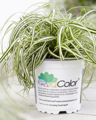 Carex EverColor® 'Everlite' in pot