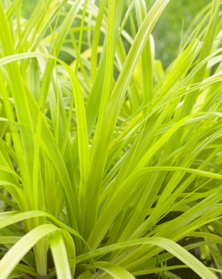 Carex EverColor® 'Everillo' foliage close-up