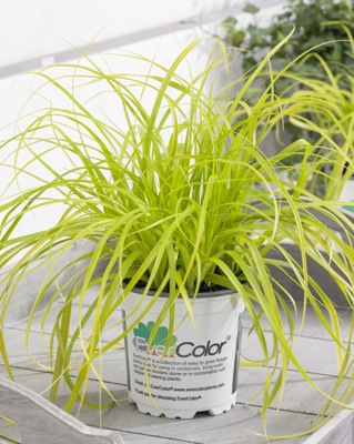 Carex EverColor® 'Everillo' in pot