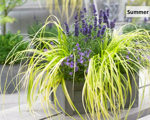 Carex EverColor® 'Everillo' on patio