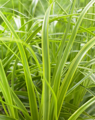 Carex EverColor® 'Everlime' foliage close-up