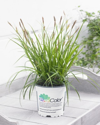 Carex EverColor® 'Everlime' in pot