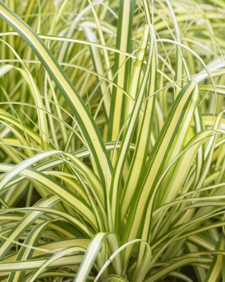Carex EverColor® 'Everoro' foliage close-up