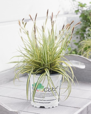 Carex EverColor® 'Everoro' in pot