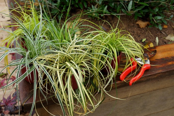 Carex EverColor® 'Everoro' on patio